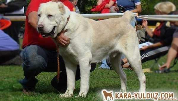 Среднеазиатская овчарка – Сentral asian shepherd dog