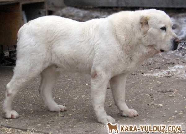 Вагши (среднеазиатская овчарка, алабай)