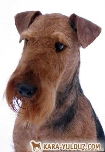 Sterling Nan Frederika (Airedale Terrier)