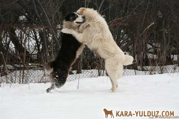 Собачьи бои. Зачем обижать волкодава?