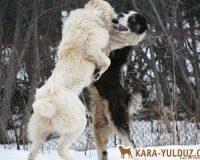 Среднеазиатские овчарки. Борьба за лидерство