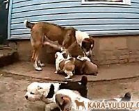 Видео с месячными щенками (Гаплан х Улима)
