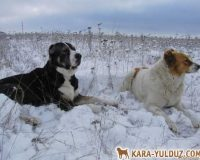 Среднеазиатские овчарки (алабаи), Донецк