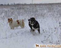 Среднеазиатские овчарки в Донецкой области
