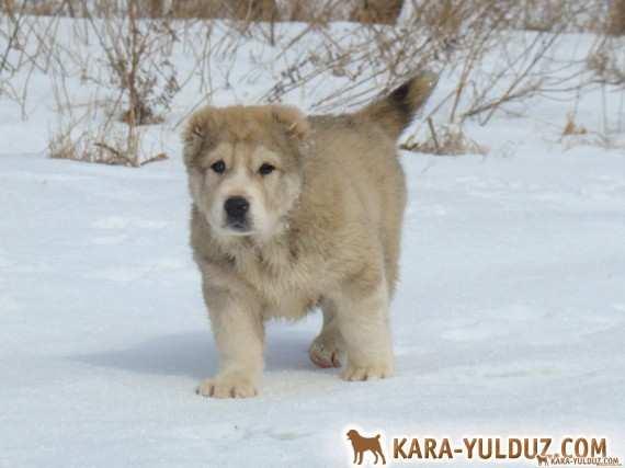 Male Sherkhan Kara Yulduz – sold