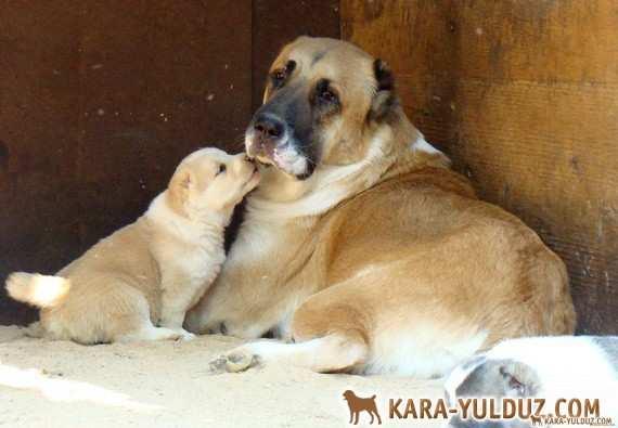 Фото щенков от Оширы в месяц