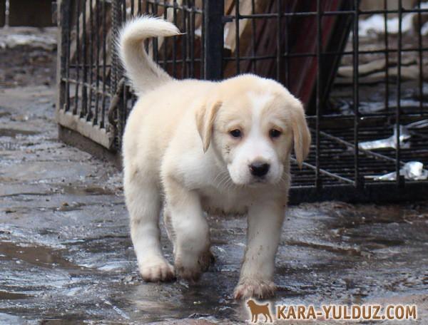 Продаются щенки, купить щенка среднеазиатской овчарки (волкодава, алабая, тобета)