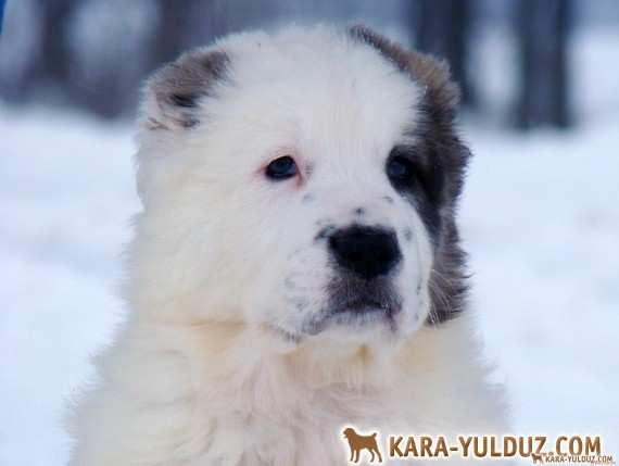 Puppies from Aladzha Kara Yulduz – sold out