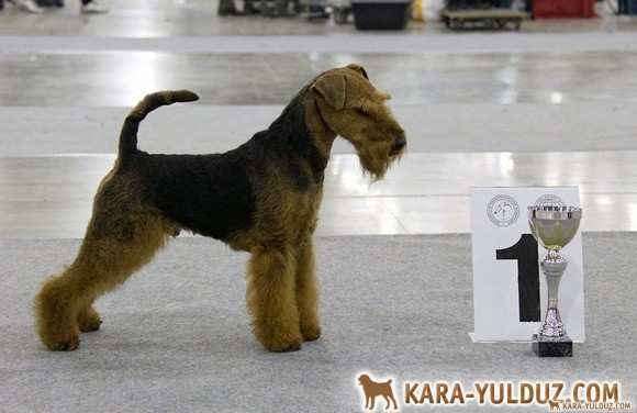 Welshterrier! Puppies! ! Sold out.