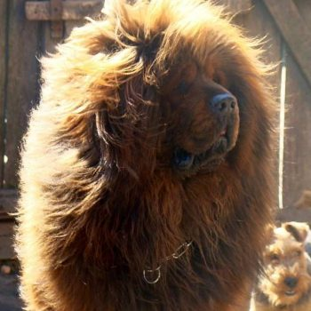 Тибетский мастиф Gold VS Red Lion Kara Yulduz